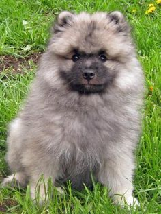 Keeshond Puppy. I wish I had Millie when she was this little she looks like our dusty