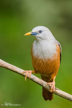 Blyth's Starling (Sturnia malabarica) , India and Southeast Asia