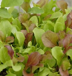 The West Coast Market Mix mesclun blend is modeled on the original Parisian Market Mix and combines diverse colours and complex flavors for organic growing.