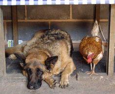 chicken and dog