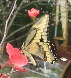 Spring butterflies 2011