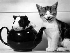 """""""Look at this silly guinea pig in a tea pot! LOL"""" - Perky the Kitten  & Pinkie the Guinea Pig, September 1978"""