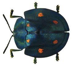 One Hobbyist's Stunning Beetle Collection From Around the World BY LAURA POPPICK Cyrtonota sexpustulata