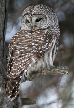 Barred Owl Portrait by Gary Fairhead Beautiful Owl, Animals Beautiful, Cute Animals, Animals And Pets, Owl Bird, Bird Art, Barred Owl, Photo To Art, Owl Pictures