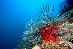 ... or feather star in a coral reef, Philippines | Stock Photo #1848-53687