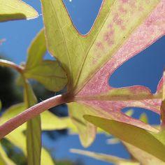 """http://fotomacro.tumblr.com/ Copyright © 2015 Foto Macro - All Rights Reserved #fall #autumn #macro #nature #photography #potato #sweetpotato…"""