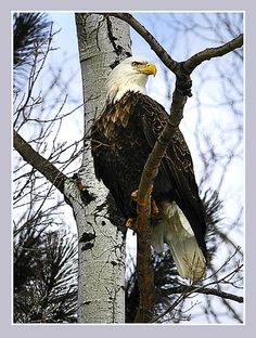 Amazing Bald Eagle (Had one like this in my yard today. I think it thought I had set the table for him.)