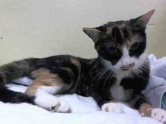Poor calico kitty Calli at NY shelter only gets one shot at life & that's tonight! Can you be her angel???  For more information on a particular cat, email adoption@nycacc.org but ONLY if serious about adopting, and ONLY if you are able to GO TO the shelter in-person. Please do not email for status updates... the only thing you will accomplish is spamming their in boxes and causing REAL adopter emails to go unnoticed.  Contact the NYC ACC at (212) 788-4000 for further automated instructions