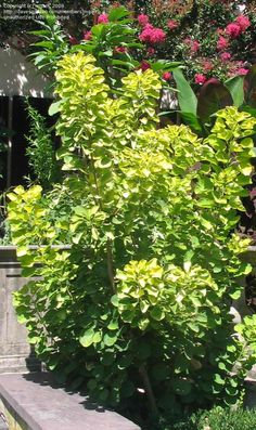 "Cotinus Ancot ""Golden Spirit Smoke Tree"""