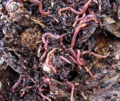 vermicomposting - the homesteading hippy