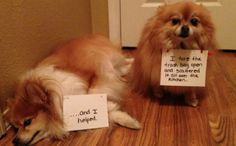 11 Naughty Pomeranians Are Totally Proud Of Their Shenanigans