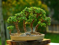 Portulacaria afra (dwarf Jade) raft style bonsai tree forest by Gilbert cantu with Little Jade Bonsai.