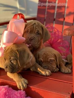 Browse puppies for sale adverts in our pet finder directory. Start searching your dream puppy here by dog breed and location. is one of the most popular pet advertising sites for pet for sale. French Mastiff Puppies, Mastiff Puppies For Sale, Collie Puppies, Cute Puppies, Cute Dogs, Dogs And Puppies, Animals And Pets, Cute Animals, Pet Finder