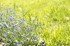 Vergissmeinnicht auf einer Sommerwiese