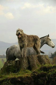 ♧The Irish traded Wolfhounds to the Romans. We know because there is an early century CE reference to 'seven Irish dogs, which so astonished Rome that it was thought they must have been brought in cages' From: Coastal Cottage, please visit Beautiful Creatures, Animals Beautiful, Cute Animals, Farm Animals, Horses And Dogs, Dogs And Puppies, Doggies, Big Dogs, I Love Dogs