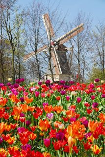 A windmill surrounded by tulips at Keukenhof Gardens in Holland, The Netherlands Beautiful World, Beautiful Gardens, Beautiful Flowers, Beautiful Places, Beautiful Pictures, Netherlands Tourism, Amsterdam Netherlands, Holland Netherlands, Tulip Fields Netherlands