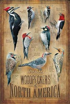 The Woodpeckers of North America Wooden Sign is a wonderful addition to a bird lover's home or cabin! Pretty Birds, Love Birds, Beautiful Birds, Bird Identification, Flora Und Fauna, Bird Poster, All Nature, Backyard Birds, Colorful Birds