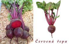 Červená řepa - účinky na zdraví, co léčí, použití, užívání, využití, pěstování, škůdci a nemoci řepy