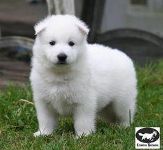 Ce bébé chien est trop chou aimer si vous aussi vous trouver qu'il est chou