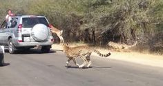 Impala Takes Head-First Dive into Car Window to Escape Attacking Cheetahs [VIDEO]