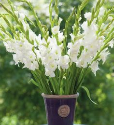 Gladiolus 'Bangladesh' is the purest white gladiolus, exceptionally healthy and long-lasting.