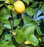 Cuidados del limonero Cómo prevenir plagas y enfermedades