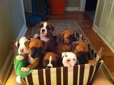 """Ok, Boxer Babies overload today I can't take it I've been squealing & saying """"Oh, Awe & Eee"""" for the last hour now looking at all these Adorable furbabies, I gotta stop or by the weekend I'll be at a shelter picking out a baby! Between Tom & the puppies my heart, head & ovaries are about to explode! Damn you Pinterest every time I swear I'm only going to spend an hr tops a day b4 you know it 4hrs goes by & I've done nothing else!!!"""
