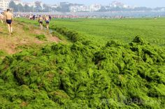中国東部山東(Shandong)省の青島(Qingdao)の近海で大量発生した藻「スジアオノリ(学名:Enteromorpha prolifera)」に覆われた海岸を歩く人々(2013年7月4日撮影)。(c)AFP ▼30Mar2014AFP|【特集】世界各地の水質汚染 http://www.afpbb.com/articles/-/3011088 #Water_pollution #Qingdao #Enteromorpha_prolifera #green_laver #Aonori