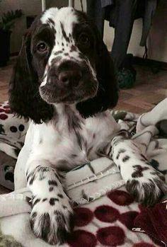 English Springer Spaniel Pup ~ Classic Look & TrimYou can find English springer spaniels and more on our website.English Springer Spaniel Pup ~ Classic Look & Trim Chiots Springer Spaniel, Perro Cocker Spaniel, Spaniel Dog, Black Cocker Spaniel, Cute Puppies, Dogs And Puppies, Cute Dogs, Doggies, Corgi Puppies