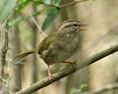 The Olive Sparrow (Arremonops rufivirgatus) is a species of American sparrow in the family Emberizidae. (Other names include Green Finch and Texas Sparrow.) Its range includes Belize, Costa Rica, Guatemala, Honduras, Mexico, Nicaragua and southern Texas.