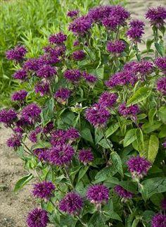 Monarda 'Purple Rooster'  Bee Balm  zones 4-9