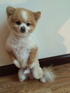 Jin Dan the Pomeranian got his first haircut and refuses to accept fate lying down. Apparently, Jin Dan hated his hair cut SO MUCH that he walked on his hind legs for two days and refused to come down!  Even when he got tired, he'd just lean against a wall and rest.