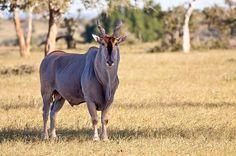 Taken @ Mashatu, Tuli Block, Botswana African Antelope, Majestic Animals, Wild Dogs, Domestic Cat, Taxidermy, Big Cats, Animal Kingdom, Pet Birds, Mammals