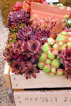 Mixed sempervivum planted in wooden crate box by judywhite