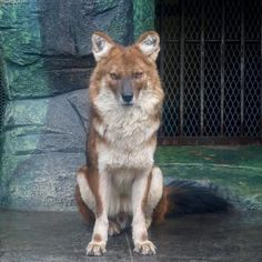 The Dhole: Asia's Unique Species of Endangered Wild Dog on we heart it / visual bookmark Nature Animals, Animals And Pets, Cute Animals, Beautiful Dogs, Animals Beautiful, Wolf Hybrid, African Wild Dog, Majestic Animals, Outdoor Cats