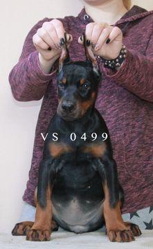 Doberman Pinscher Puppy For Sale In Murrieta Ca Adn 65710 On
