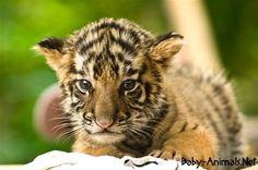 Baby tiger 20# #babytiger  #cutetiger  #littletiger  #sweettiger  #tiger  #tigerphoto #babytigerimages  #babyanimals  #cuteanimals  #littleanimals  #sweetanimals