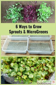 Large Garden Design Discover how to grow broccoli sprouts and microgreens with these 6 methods. From sprouting jars and soil flats, to hemp mats, wood shavings, and fiber pads, it's easy to grow a year-round supply of microgreens and sprouts. Growing Broccoli, How To Grow Broccoli, Growing Sprouts, Growing Microgreens, How To Grow Sprouts, Roh Vegan, Sprouting Seeds, Gardening Supplies, Gardening
