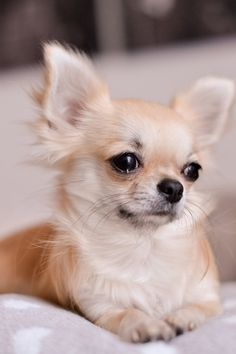 Effective Potty Training Chihuahua Consistency Is Key Ideas. Brilliant Potty Training Chihuahua Consistency Is Key Ideas. Baby Chihuahua, Long Haired Chihuahua, Cute Puppies, Dogs And Puppies, Cute Dogs, Doggies, Mundo Animal, Yorkshire Terrier, Little Dogs