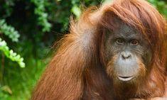 Josh is an orphaned baby Orangutan from Borneo who lives at the Samboja Lestari Wildlife Center in Borneo. Primates, Mammals, Sumatran Orangutan, Chimpanzee, Flora And Fauna, Borneo, Animal Rights, Animals And Pets, Wild Animals