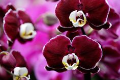 Daring burgundy orchid