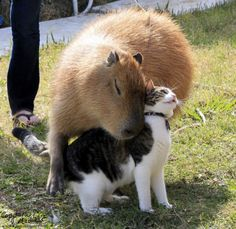 15 Photos That Prove Capybaras Are Friends With Everyone