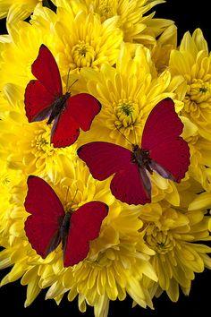 Three red butterflies