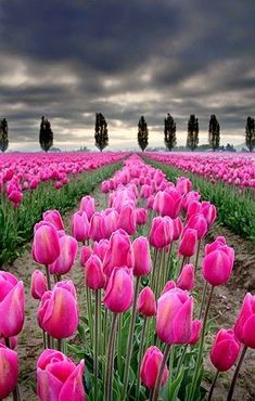 Spring Tulips Beautiful gorgeous