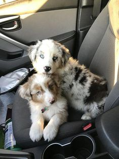 Some of the things I adore about the Work-Oriented Australian Shepherd Pup Super Cute Puppies, Cute Baby Dogs, Cute Dogs And Puppies, Doggies, Big Dogs, Australian Shepherd Puppies, Aussie Puppies, Australian Shepherds, Corgi Puppies