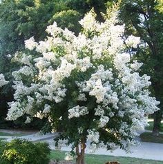 Natchez White Crapemyrtle Tree (2-3 feet tall in full gallon containers) Very fast growing crape myrtle! Description from amazon.com. I searched for this on bing.com/images