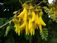 Kowhai - native flower of New Zealand
