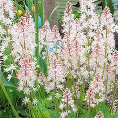 Stephanie Cohen Foamflower- heat and drought tolerant, blooms from April to June, LOVE it!  (Aka tiarella)