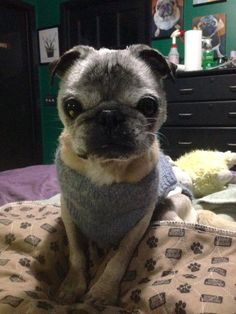 Baxter the 18 year old pug! Hope my Butch lives forever!! Hope Baxter is still going strong, he looks GREAT!!