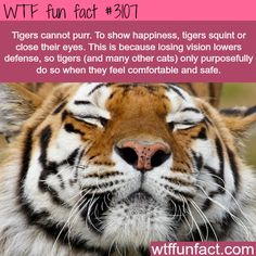 How tigers show happiness - WTF fun facts